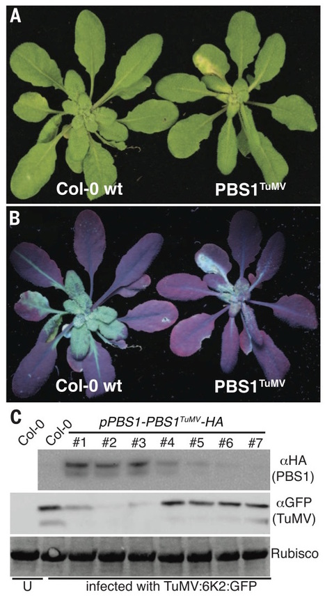 Science: Using decoys to expand the recognition specificity of a plant disease resistance protein (2016) | Plants and Microbes | Scoop.it