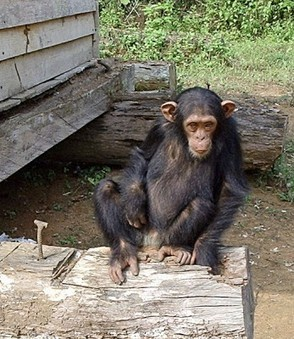 Le chimpanzé | The Blog's Revue by OlivierSC | Scoop.it