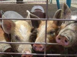 Living Near Pig Farms and Crop Fields Increases MRSA Risk - Food Poisoning Bulletin | Complete Wellness Fast | Scoop.it