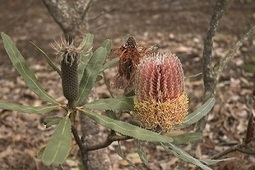 Local seeds vital for effective banksia restoration | Australian Plants on the Web | Scoop.it