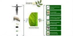 Tobacco plants turn into living vaccine factories | News Channel - Mind Processors | Virology News | Scoop.it