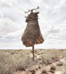 Ces sculptures de paille sont en réalité des nids d'oiseaux !   Les oiseaux au gré du vent