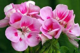 Benefits of Rose Geranium Essential Oil for Skin   wedding time   Scoop.it