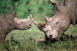 Wildlife vet warns of rhino crisis | What's Happening to Africa's Rhino? | Scoop.it