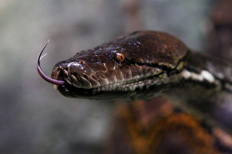 Pythons and Anacondas Have Overrun Florida's Everglades | Environmental Happenings | Scoop.it