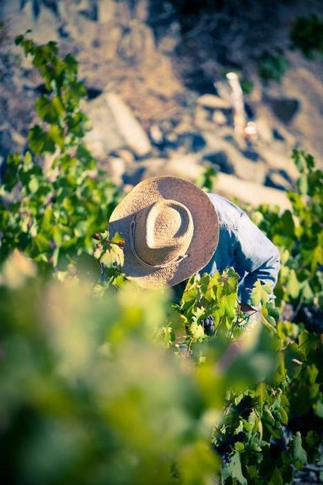 Harvesting Mavro - Commandaria Hills | Wine Cyprus | Scoop.it