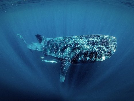 Save the Sharks By Swimming With Them | Food for Pets | Scoop.it