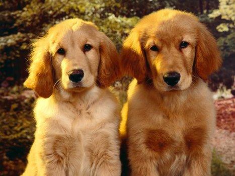 Golden Retriever   My Favourite Dogs   Scoop.it