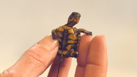 These Crazy Cute Baby Turtles Want Their Lake Back | Our Evolving Earth | Scoop.it