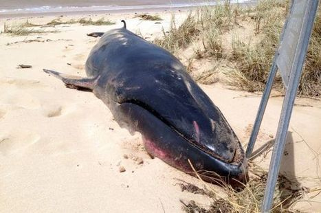 Whale thought extinct washes up on shore for first time in 200 years | World whale rescue | Scoop.it