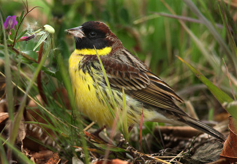 """Yellow-breasted Bunting to be uplisted to """"Endangered"""" « Birds Korea Blog 