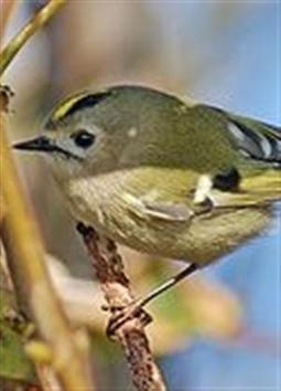 Le roitelet, le plus petit oiseau de nos bouchures - Le JSL   Oiseaux   Scoop.it
