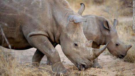 Rhino horn trade triggers extinction threat - CNN.com | What's Happening to Africa's Rhino? | Scoop.it