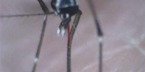 [Vidéo] Brésil : l'envol du moustique OGM | EntomoNews | Scoop.it