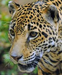 Biodiversity: Feds propose more jaguar critical habitat   Permaculture, Horticulture, Homesteading, Bio-Remediation, & Green Tech   Scoop.it