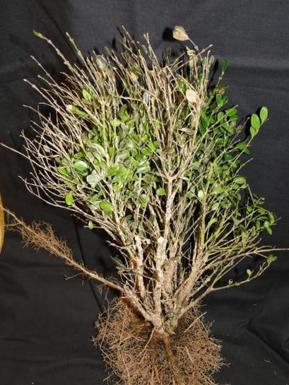 Boxwood Blight is the Latest Threat | Plant Pests - Global Travellers | Scoop.it