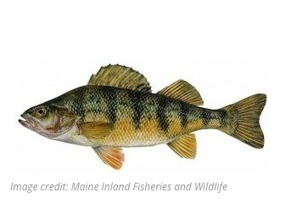 Okanagan Area Lake illegally stocked with perch will be poisoned | Aquaculture Directory | Aquaculture Directory | Scoop.it