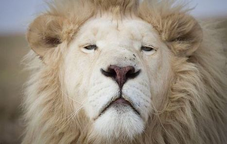 SA farmers fingered in lion smuggling | Nature Animals humankind | Scoop.it