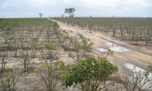 Land grabs: the unintended consequences of biofuels | biorenewable energy | Scoop.it