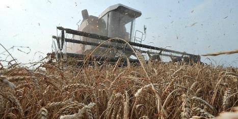 Le rendement des champs de blé atteint son pire niveau depuis 30 ans | Agriculture en Dordogne | Scoop.it