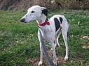 Lévriers Libres   Galgos around the world   Scoop.it