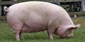 Not Swine Flu [in 1918] | Virology News | Scoop.it
