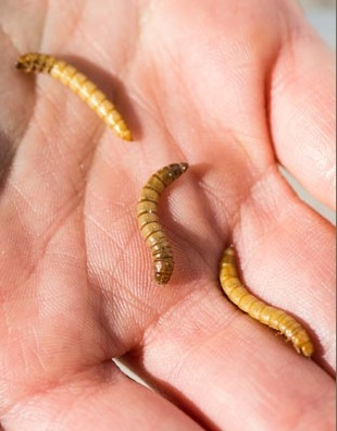 Could squirmy livestock dent Africa's protein deficit? - Nelson Institute | News | Entomophagy: Edible Insects and the Future of Food | Scoop.it