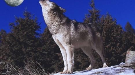 Vosges: La médiatisation du recensement des loups fait hurler une spécialiste de l'animal | Loup | Scoop.it
