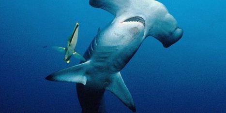 Un nouveau pas vers la protection des requins | Protection des Océans | Scoop.it
