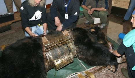 Bear Trapped For Years In 'Torture Vest' Now Spends Her Days Swimming | Nature Animals humankind | Scoop.it