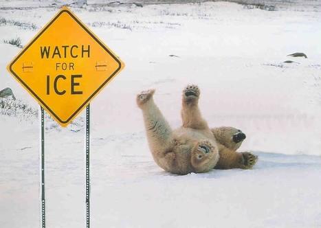 PolarBearIce.jpeg (1021x726 pixels) | Humour | Scoop.it
