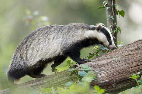 Don't cull me now: celebrities fight for badgers | 50s-80s  Pop Music | Scoop.it