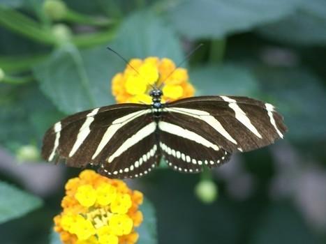 Photos de Papillons : Heliconius charithonia - Papilio charithonia - Zebra longwing | Fauna Free Pics - Public Domain - Photos gratuites d'animaux | Scoop.it