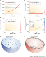 The new nanophysiology: regulation of ionic flow in neuronal subcompartments   Neuroscience_topics   Scoop.it