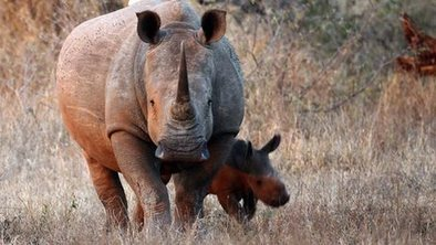 Shopping for rhino horn with a hidden camera | Animal Cruelty | Scoop.it
