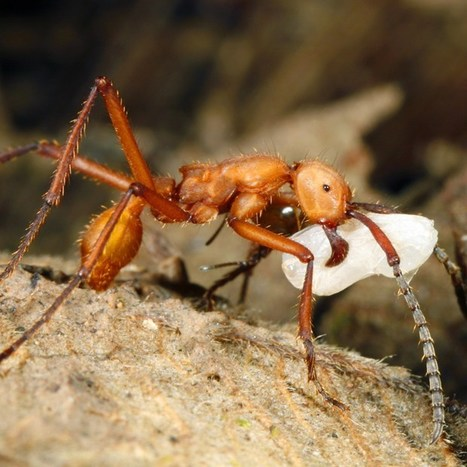 """Ant slaves trapped in their oppressors' nests covertly kill off the offspring they are left to care for in acts of rebellion that are part of an evolutionary ant """"arms race"""" (Wired UK) 