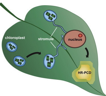 Developmental Cell: Chloroplast Stromules Function during Innate Immunity (2015) | CropScJV | Scoop.it