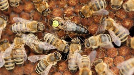 [Vidéo] La langue des abeilles | Le jardin stagirite | Scoop.it