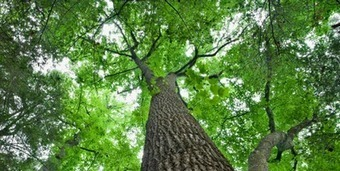 Phys Rev Lett: Leaf Size Fixed by Tree Physics | Plant Biology Teaching Resources (Higher Education) | Scoop.it