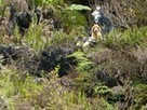 Rare Singing Dog Photographed in New Guinea? | Nature enviroment and life. | Scoop.it
