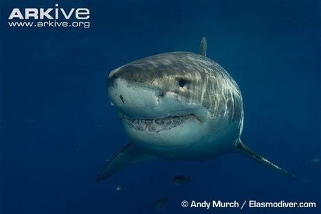 Great white shark videos, photos and facts - Carcharodon carcharias | ARKive | About great white sharks | Scoop.it