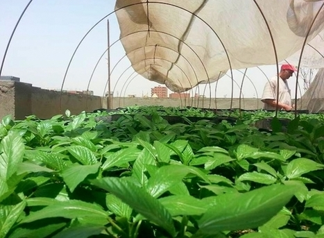 Urban Gardening Takes Root In Egypt | Food related production. | Scoop.it