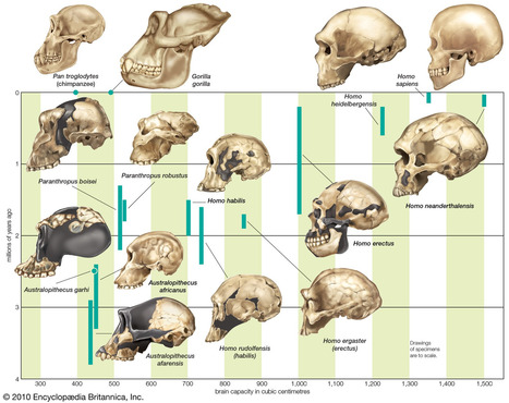 How Humans Evolved Large Brains (Science Up Front) | Aux origines | Scoop.it