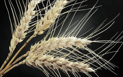Breeding mutant crops widespread | Science Education | Scoop.it
