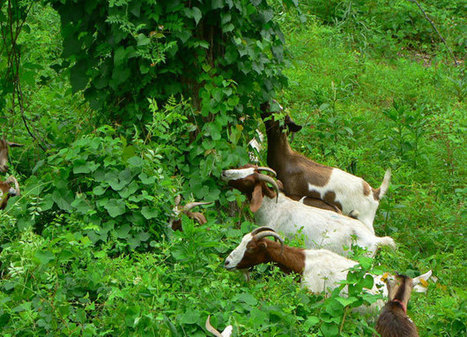 The goats fighting America's plant invasion | animals and prosocial capacities | Scoop.it