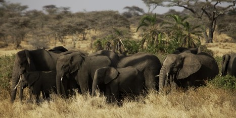 Shocking Percentage Of African Elephant Population May Be Gone In 10 Years | Animal Cruelty | Scoop.it
