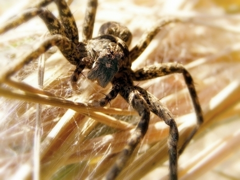 Even Lady-Spiders Use Sexy Silk to Catch a Male's Eye - Nature World News | Spiders | Scoop.it