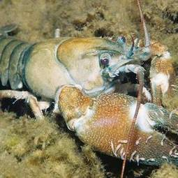 "Overheated rivers are killing our endangered crayfish - Irish Independent (""slow kill"") 