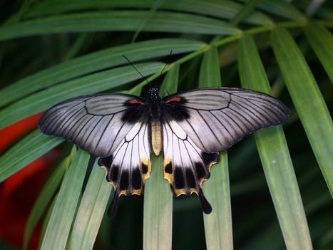 Papilio lowii - Papilio lowi - Joli papillon asiatique | Fauna Free Pics - Public Domain - Photos gratuites d'animaux | Scoop.it