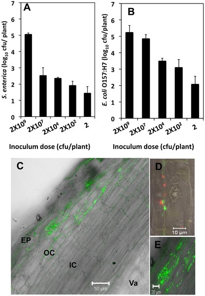 Response of Medicago truncatula Seedlings to Colonization by Salmonella enterica and Escherichia coli O157:H7 | Plant microbe interactions | Scoop.it